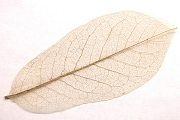 Package of 5 Small Mango Skeleton Leaf