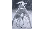 Art Postcard: Jumping for Joy (Kangaroos)