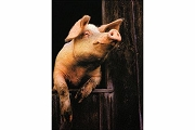 Art Postcard - Pig in Window (in Color)