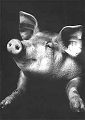 Art Postcard by Walter Schels - Pig, 1991