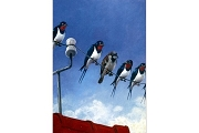 Art Postcard: Rauchschwalben (Birds on a Line)