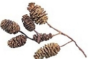 Mini Birch Pinecones, Each approximately ¾