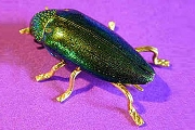 Real Beetle Pin with Golden Accents in Gift Box