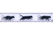 3D Lenticular Ruler: Black Cat In Stride