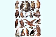 Reproduction Chromolithograph Embossed Die-Cut Reliefs - Birds of Prey