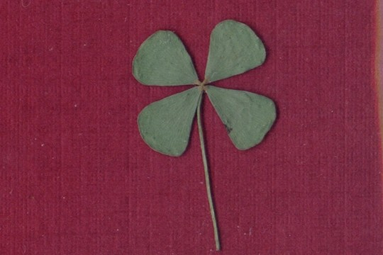 Dried and Pressed Real Four Leaf Clover