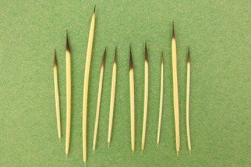 Porcupine Quills - Package of 10 or More